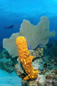 Sponge, sea fan and diver by Paul Colley 